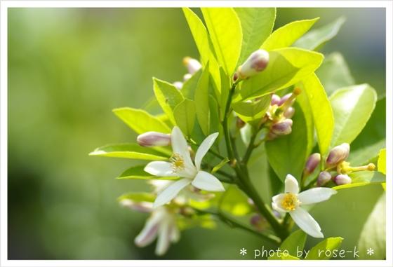レモンの花.jpg