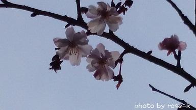 sakura-3gatu.jpg